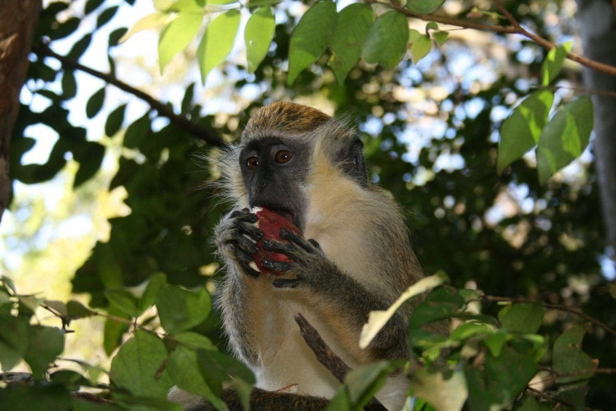 barbados-wildlife-reserve