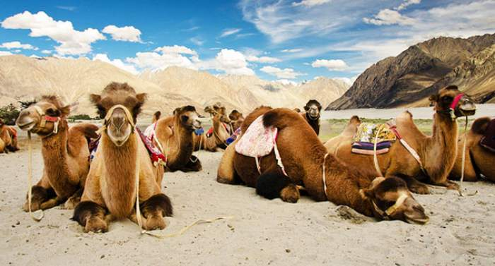 Bactrian Camels at Hunder